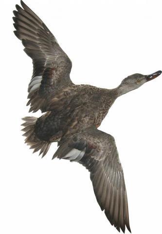 Фото Другие товары для охотников, Чучела Чучело крыжня в полете