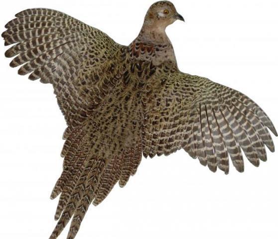 Чучело фазана курочки