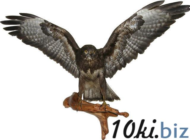 Чучело сокола (канюк) Чучела для охоты в Украине