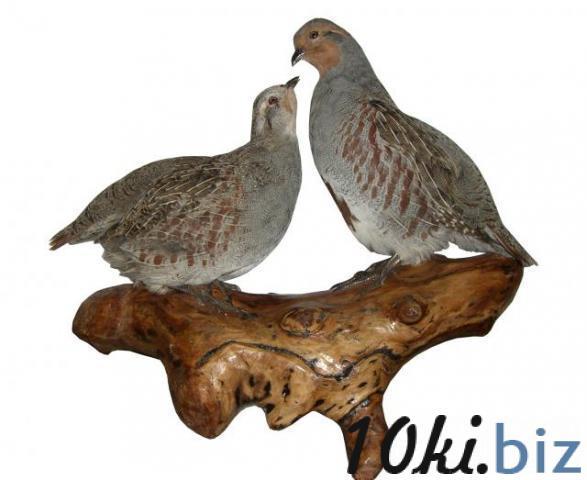Чучело Куропатки (пара) Чучела для охоты в Украине