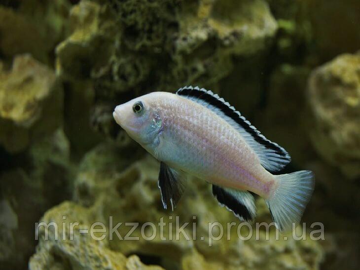 "ЛАБИДОХРОМИС ЦЕРЕЛЕУС ""НКАТА БЭЙ"" (Labidochromis caeruleus white Nkhata Bay)"