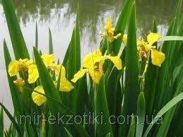 Ирис болотный желтый(Iris pseaudacorus)