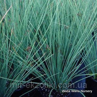 Ситник сизый (Juncus glauca)