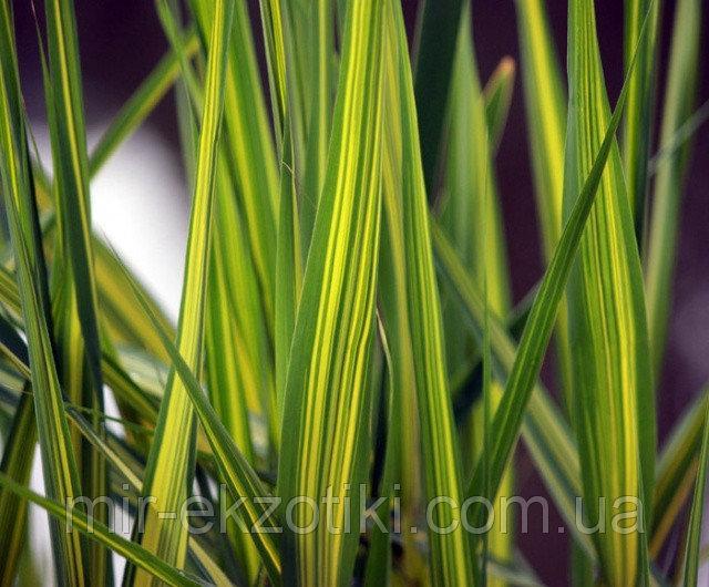 Тростник австралийский Вариегатус желтый (Phragmites australis Variegatus)