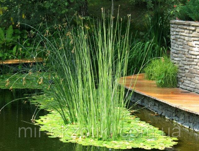 Камыш озерный Альбесценс (Scirpus lacustris Albescens)