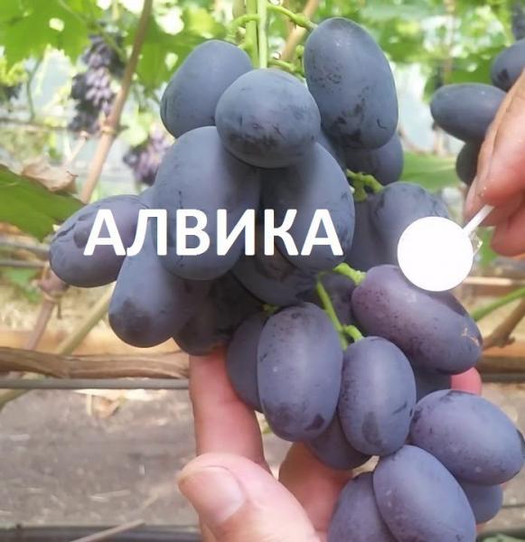 алвика