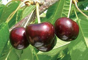 Фото Саженцы плодовых деревьев Донецк Черешня Бигарро Старкинг