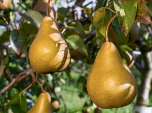 Фото Саженцы плодовых деревьев Донецк Груша Бере Боск