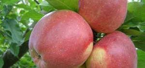 Фото Саженцы плодовых деревьев Донецк Яблоня Лиголь