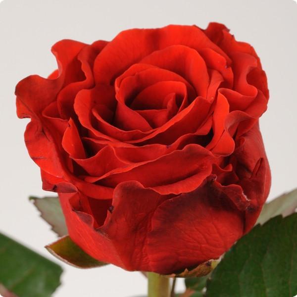Роза Эль тора ребристая