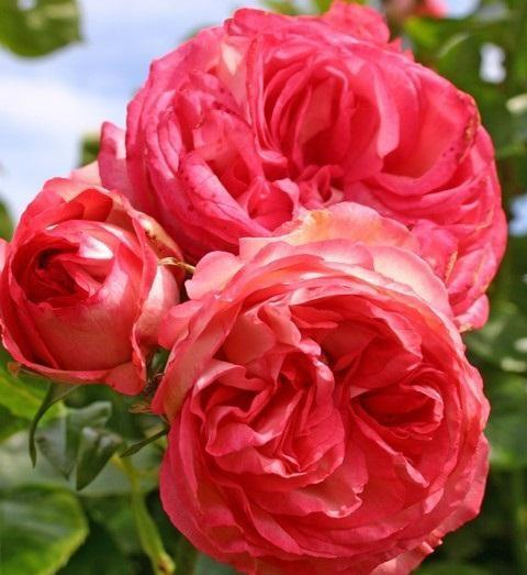 Роза бордюрная Санрайз