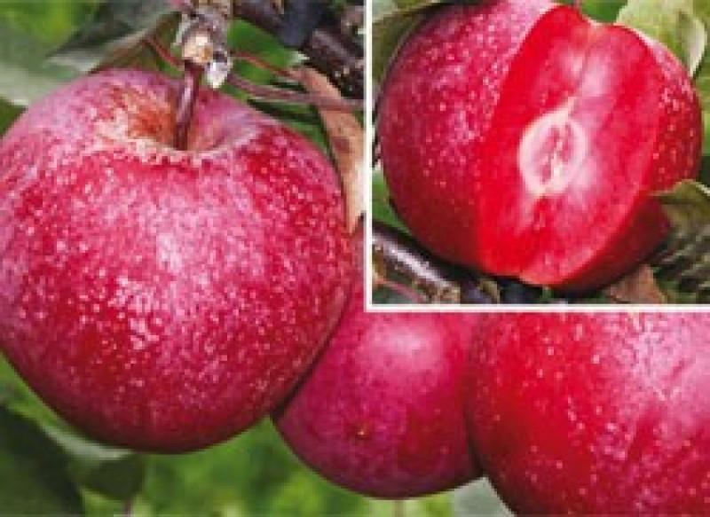 Саженцы яблони БАЯ МАРИСА (двухлетний) раннезимний