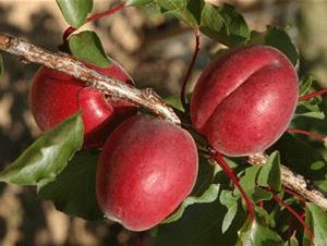 Саженцы абрикоса РУБИСТА (двухлетний) раннего срока