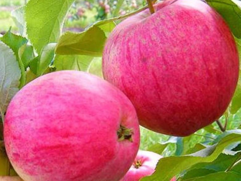 Саженцы яблони РОЗОВЫЙ НАЛИВ (двухлетний)