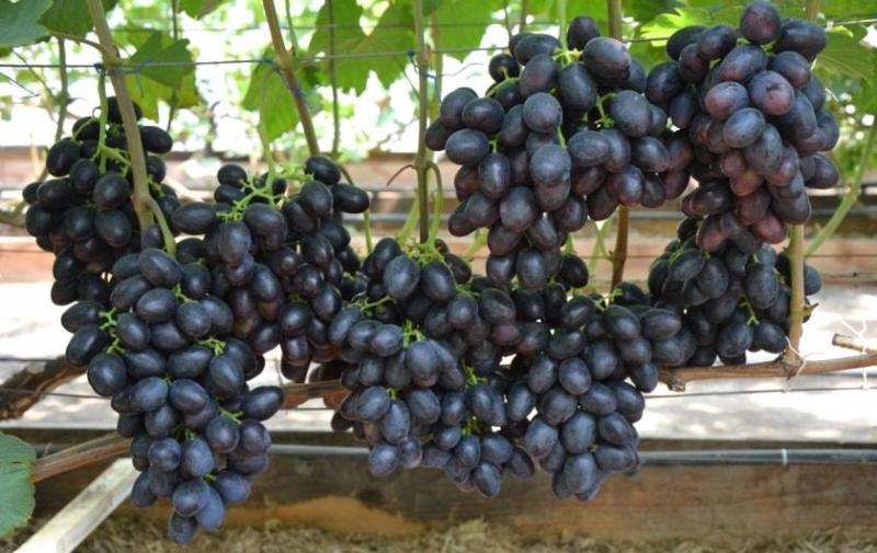 Саженцы винограда КРАСА БАЛОК раннего срока созревания