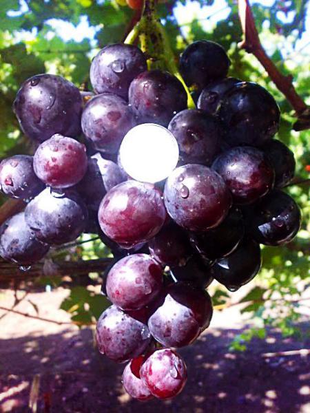 Саженцы винограда ГЕРЦОГ раннего срока созревания