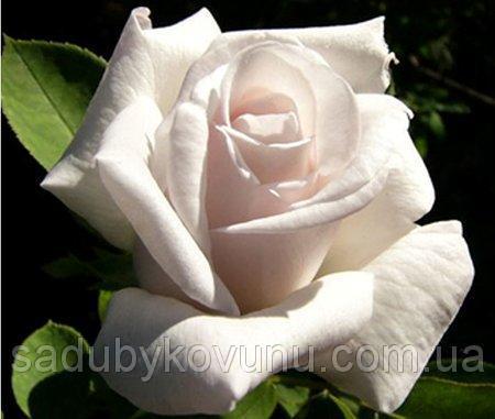 Саженцы роз Белуга