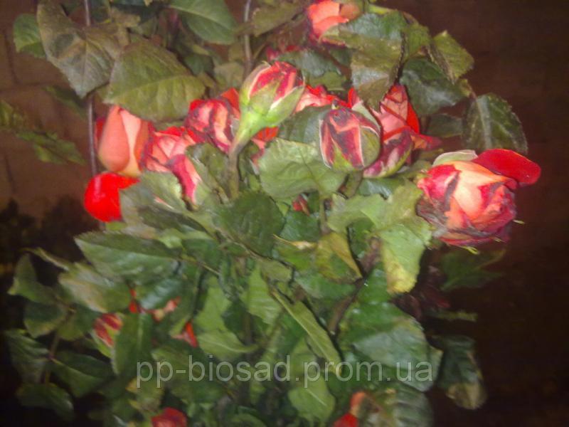 Саженцы роз в ассортименте