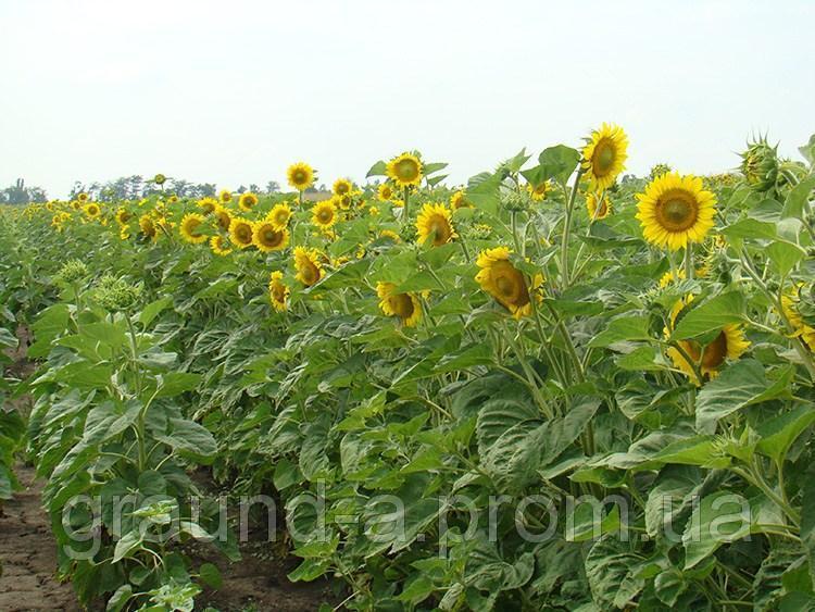 Семена подсолнечника НС-Х-6042. Упаковка 1 п.е. (150 000 семян)