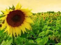 Семена подсолнечника Українське сонечко. Упаковка 1 п.е.