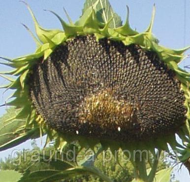 Семена подсолнечника Айдар. Упаковка 1 п.е. (150 000 семян)