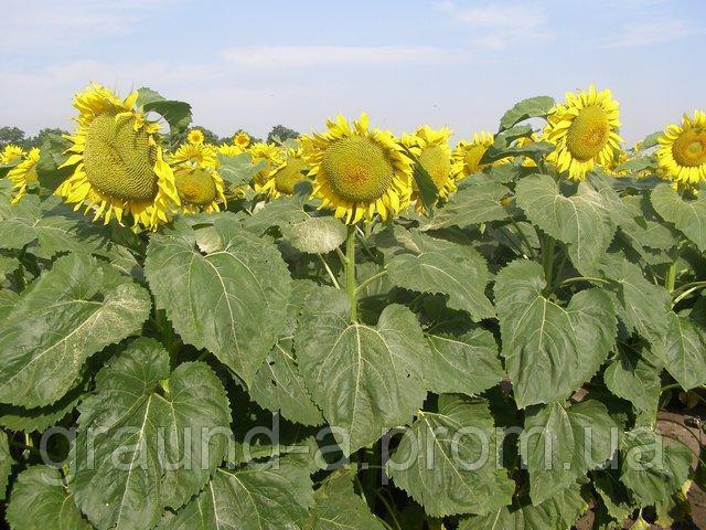 Семена подсолнечника Златсон. Упаковка 1 п.е.