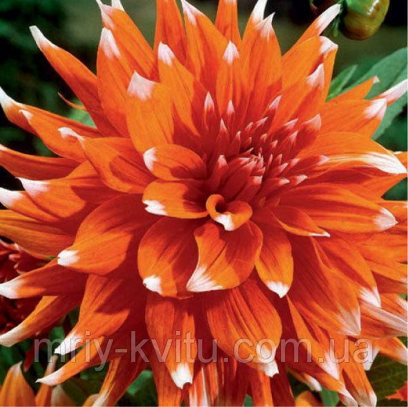 Саженец ГЕОРГИНА кактусовая Color Spectacle