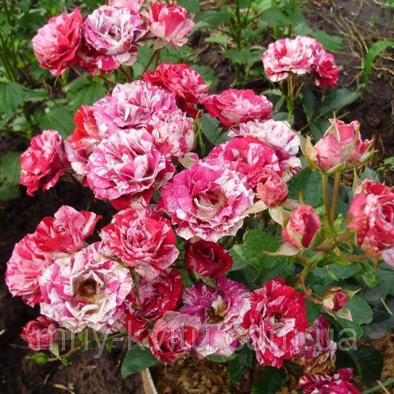 Саженцы розы бордюрной Арроу Фолиес