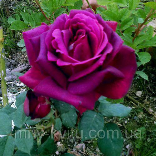 Саженцы розы чайно-гибридная Юрианда класс А (8шт)