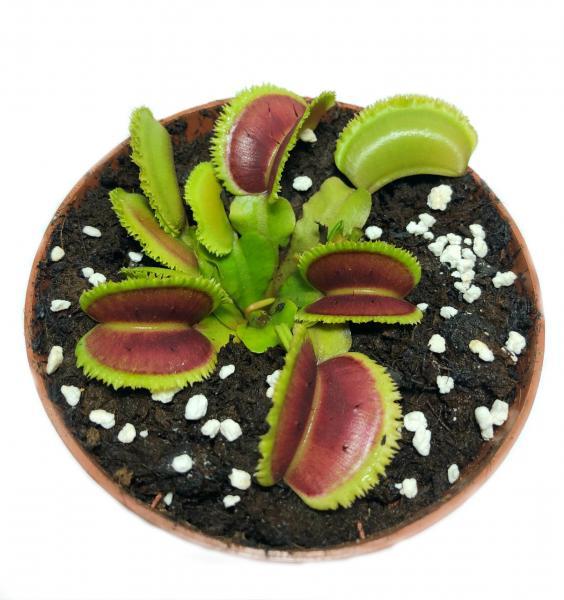 Растения Хищник Венерина мухоловка Дентата AlienPlants Dionaea muscipula Dentate размер M (SUN0018CP)