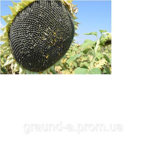 Семена подсолнечника Евро (Экстра). Упаковка 1 п.е. (150 000 семян)