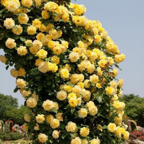 Плетистая роза Casino