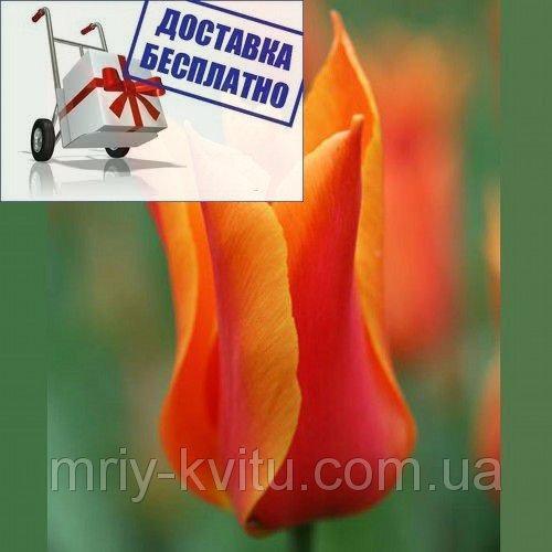 Луковичные растения Тюльпан Ballerina  (лилиевидний)