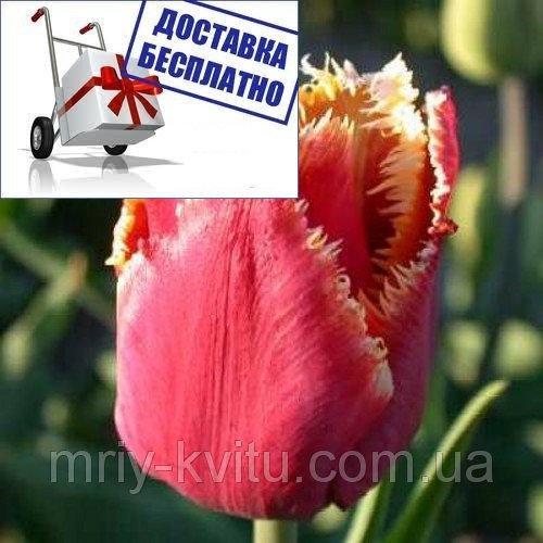 Луковичные растения Тюльпан Noranda  (бахр)