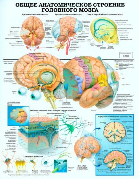 Фото 6. УЧЕБНЫЕ ПЛАКАТЫ И  СТЕНДЫ ДЛЯ КОЛЛЕДЖЕЙ, Медицина и охрана здоровья Плакаты по анатомии