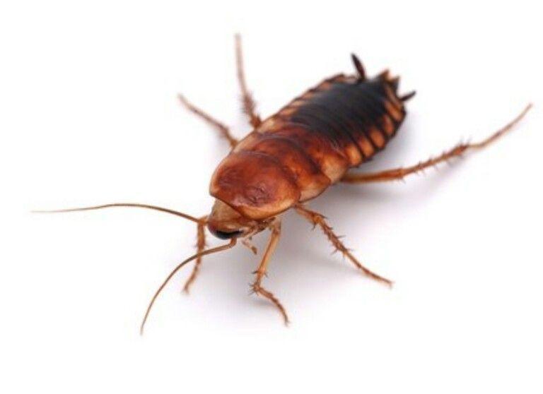 Туркменские тараканы (25 шт)
