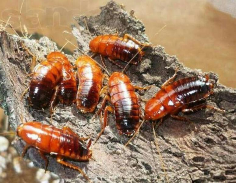 Фото Корм для муравьёв, Кормовые насекомые для муравьёв Туркменские тараканы (25 шт)