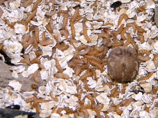 Фото Корм для муравьёв, Кормовые насекомые для муравьёв Жук и личинка знахаря (Около 100 особей на разных стадиях)