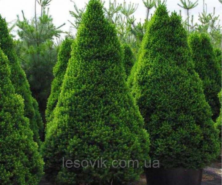 Ель канадская Conica (Picea glauca Conica) С2