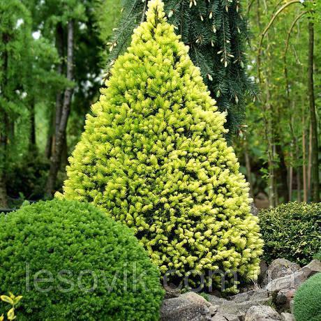 Ель канадская Daisy`s White (Picea glauca Daisy`s White) С2