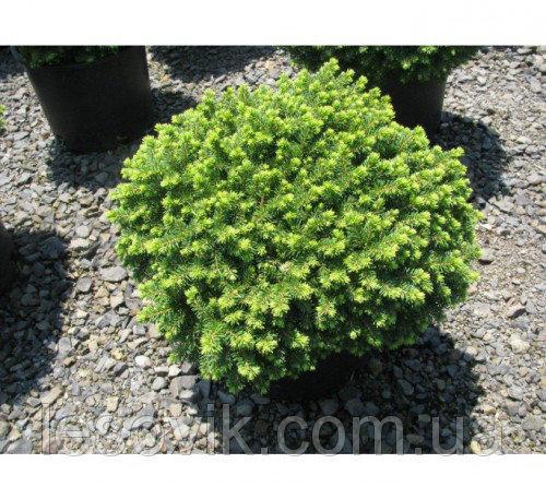 Ель обыкновенная Little Gem (Picea abies Little Gem)
