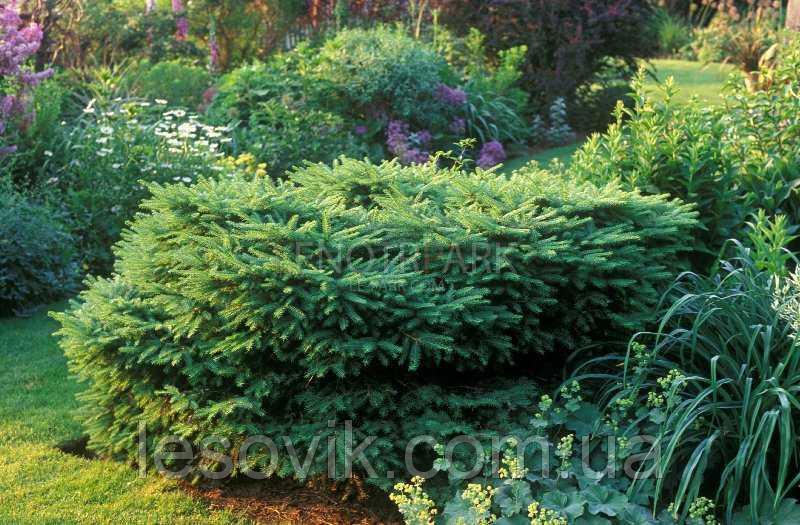 Ель обыкновенная Nidiformis (Picea abies Nidiformis) 15