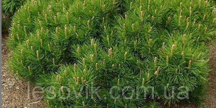 Сосна горная March (Pinus mugo March)
