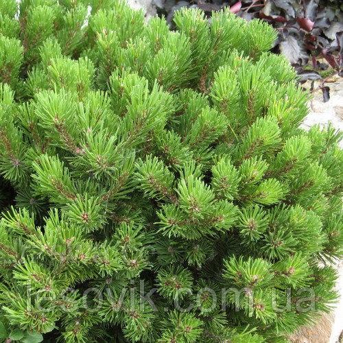 Сосна горная Лилипут (Pinus mugo Lilliput)
