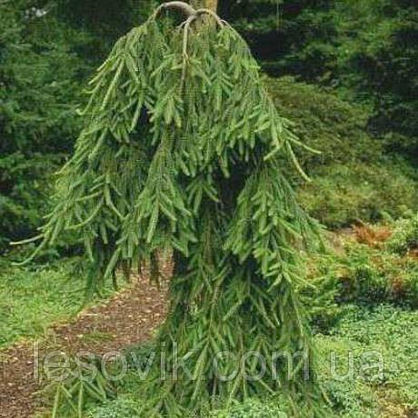 Ель обыкновенная Фробург (Picea abies Frohburg)