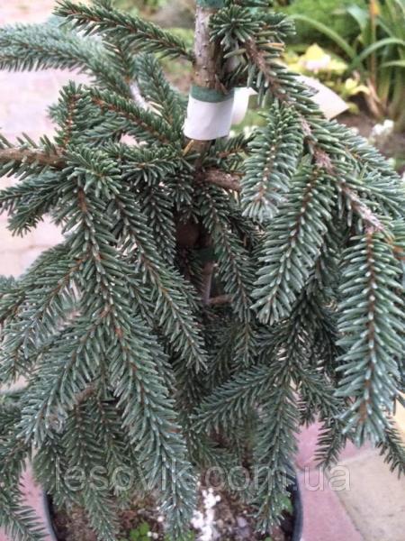 Ель восточная Ауреа (Picea orientalis Aurea) 90-110 см