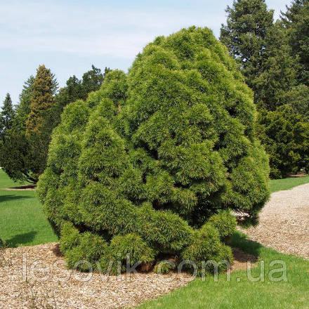 Сосна обыкновенная Глобоза Виридиз (Pinus sylvestris Globosa Viridis)