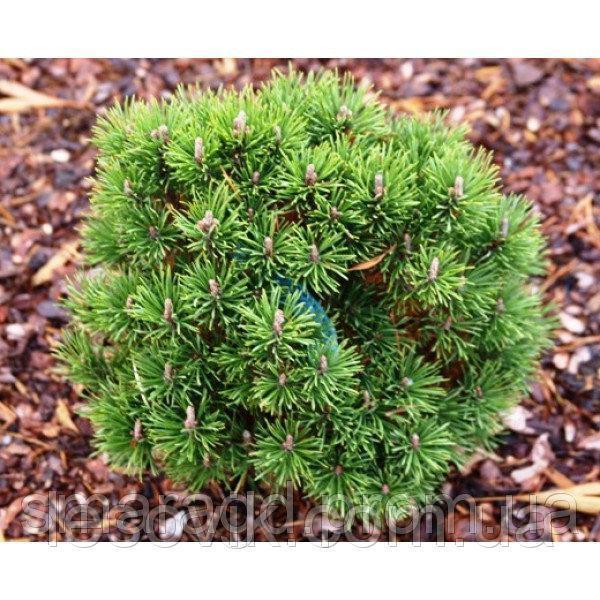 Сосна горная Грюн Кугел - Pinus mugo Grune Kugel  30-40