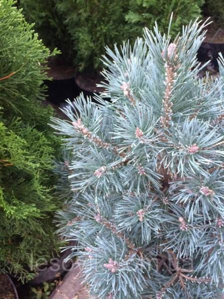 Сосна обыкновенная Nana Arguto (Pinus sylvestris Nana Arguto)
