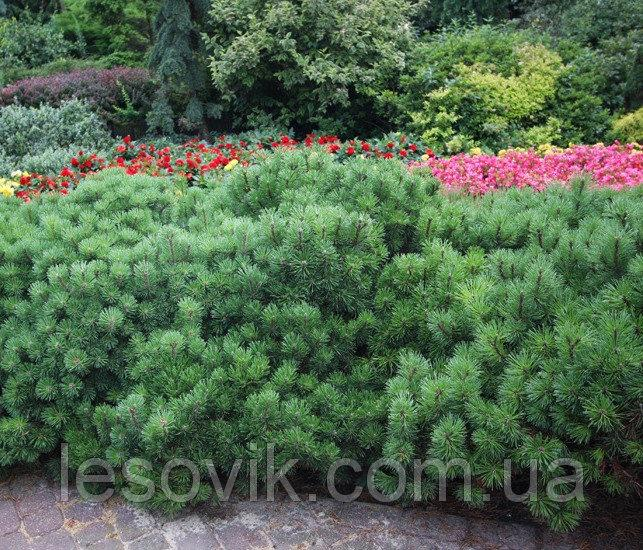 Сосна горная Пумилио (Pinus mugo Pumilio)